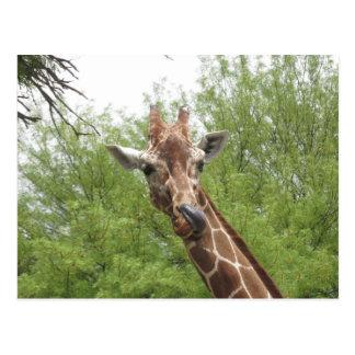 Carte Postale Girafe léchant son nez