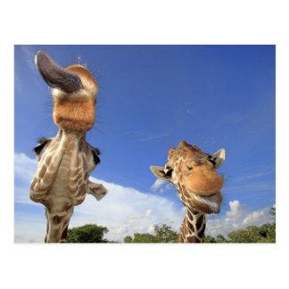 Carte Postale Girafe réticulée (camelopardalis de Giraffa) 3
