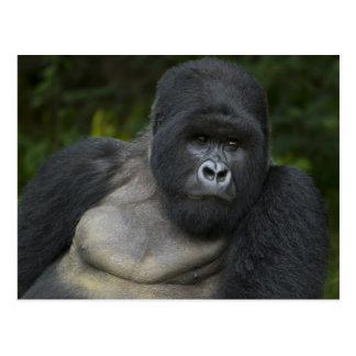 Carte Postale Gorille de montagne et Silverback 5