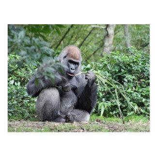 Carte Postale gorilles de silverback