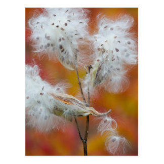 Carte Postale Graines de Milkweed en automne, Canada