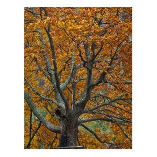 Carte Postale Grand arbre d'érable en automne, lac bas, près de