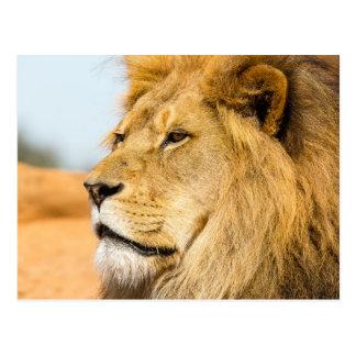Carte Postale Grand lion regardant loin