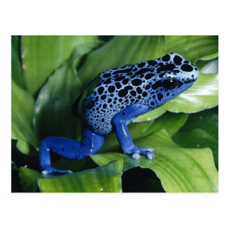 Carte Postale Grenouille bleue de dard de poison