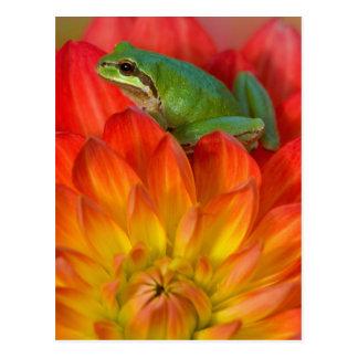 Carte Postale Grenouille d'arbre Pacifique sur des fleurs dans