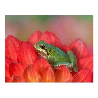 Carte Postale Grenouille d'arbre Pacifique sur les fleurs dans