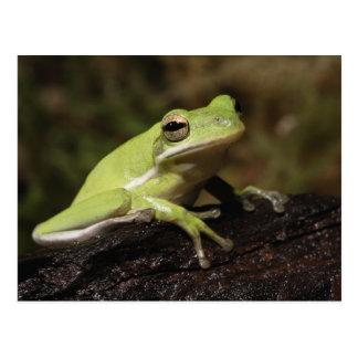 Carte Postale Grenouille d'arbre verte, cineria de Hyla,