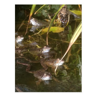 Carte Postale Grenouilles, grenouilles et plus de grenouilles