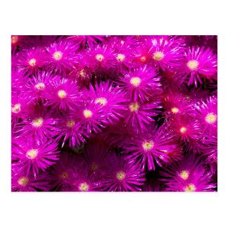 Carte Postale Groupe de fleurs roses d'aster