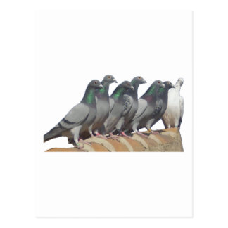 Carte Postale Groupe de pigeons voyageur