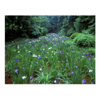 Carte Postale Hana Shobu (iris japonais de l'eau), tombeau de