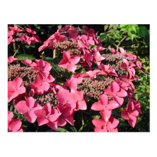 Carte Postale Hortensia. Fleurs roses