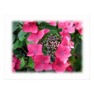 Carte Postale Hortensias. Fleurs roses. Blanc