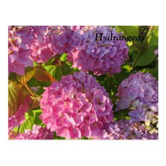 Carte Postale Hortensias roses
