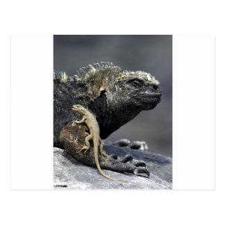 Carte Postale Iguane marin de Galapagos et lézard de lave