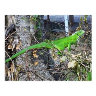 Carte Postale Iguane prenant un bain de soleil en La Romain,