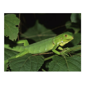 Carte Postale Iguane vert, (iguane d'iguane), iguanes communs
