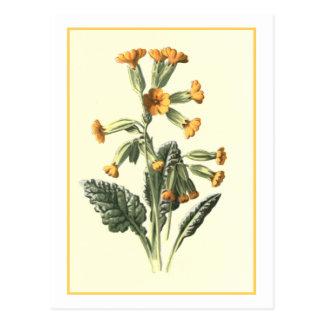 """Carte Postale Illustration botanique de """"primevère"""""""