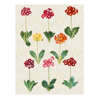 Carte Postale Illustration botanique vintage de primevère