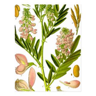 Carte Postale Illustration vintage de botanique