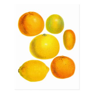 Carte Postale Illustration vintage de citron d'oranges d'agrume