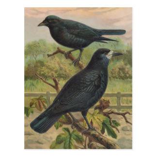 Carte Postale Illustration vintage d'oiseau de freux