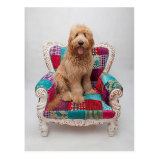 Carte Postale Images de Getty | Goldendoodle mignon