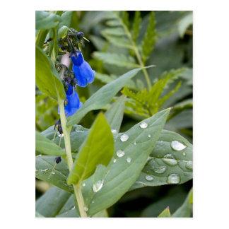Carte Postale Jacinthes des bois et gouttes de pluie
