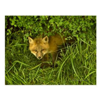 Carte Postale Jeune Fox rouge sortant de la dissimulation dans