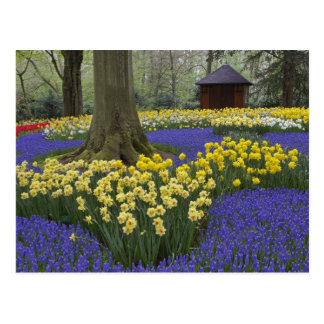 Carte Postale Jonquilles, jacinthe de raisin, et jardin de