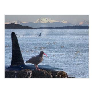 Carte Postale La baleine d'orque, attrapeur d'huître cascade le