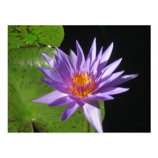 Carte Postale La belle eau pourpre lilly avec le soleil de
