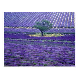 Carte Postale La lavande met en place, Vence, Provence, France