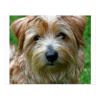 Carte Postale la Norfolk terrier.png