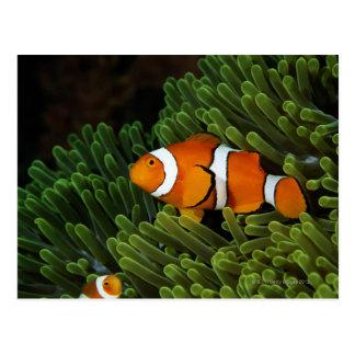 Carte Postale La Papouasie-Nouvelle-Guinée, anemonefish faux de