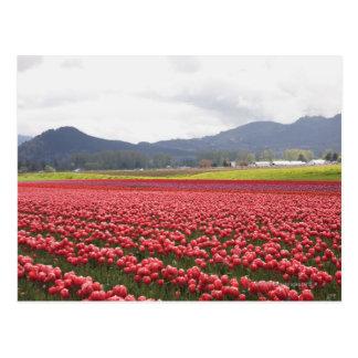Carte Postale La tulipe gaie met en place la vallée de Skagit de