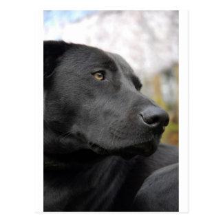 Carte Postale Labrador noir