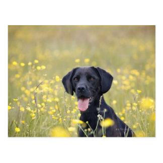 Carte Postale Labrador noir 16 mois