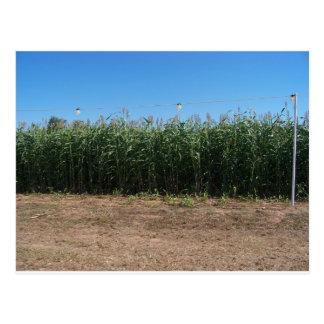 Carte Postale labyrinthe de maïs