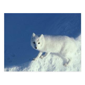 Carte Postale Lagopus d'Alopex de renard arctique) un renard