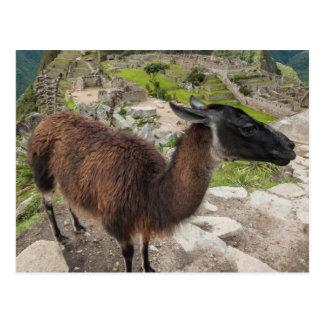 Carte Postale Lama chez Machu Picchu, Aguas Calientes, Pérou