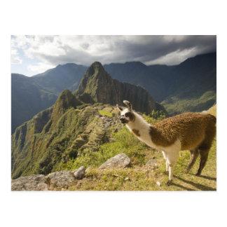 Carte Postale Lamas et un regard fini de Machu Picchu,
