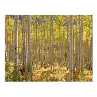 Carte Postale L'automne de forêt de bouleau de montagne rocheuse