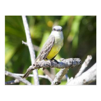 Carte Postale Le Kingbird du divan du Yucatan
