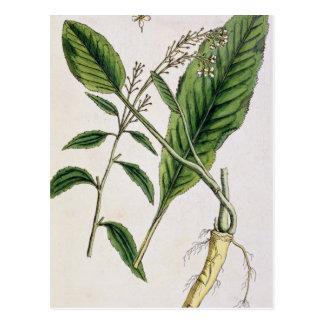 """Carte Postale Le raifort, plaquent 415 """"d'un de fines herbes"""