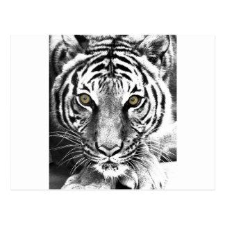 Carte Postale L'éclat du tigre