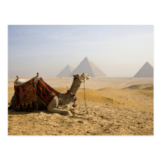 Carte Postale L'Egypte, le Caire. Un chameau solitaire regarde