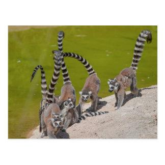 Carte Postale lémur au zoo