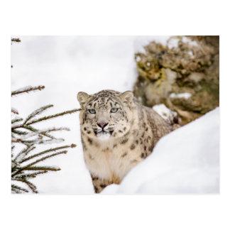 Carte Postale Léopard de neige dans la neige