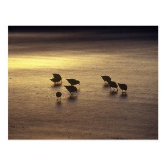 Carte Postale Les Etats-Unis, la Floride, Sanderlings